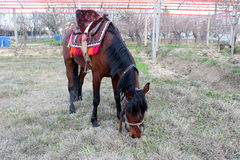 Red Horse Royalty Free Stock Images