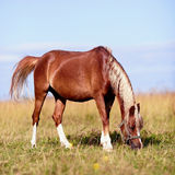 The red horse is grazed Royalty Free Stock Photos