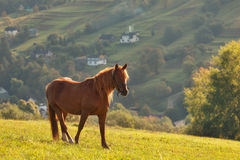 Red horse grazes on a hillside. Red horses in the mountains, in the Carpathians, Ukraine Stock Photography