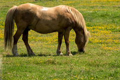 Red horse, grazing on the a field Royalty Free Stock Photography