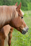 Red horse is grazing on a green meadow. On a summer day Stock Image