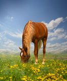 Red horse. Grazing on a meadow Royalty Free Stock Image