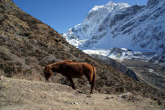 The red horse is grazing in the mountains of Nepal Stock Photos