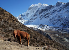 The red horse is grazing in the mountains of Nepal Royalty Free Stock Photography