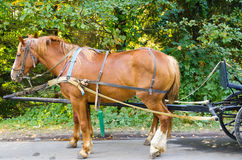 Red horse  harnessed in carriage. Red horse harnessed in crew in Dendroparke Uman Stock Photo