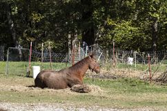 Red horse that has been rolling in the mud lying besides hay and an old wire fence in front of trees. A Red horse that has been rolling in the mud lying besides royalty free stock photography