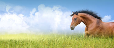 Red horse in high summer grass ,banner Royalty Free Stock Image