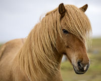 Red Horse II. Icelandic pony, red, staring in my eyes Stock Photos