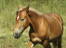 Red horse with light mane and white blaze on the head stands on the field Stock Photography