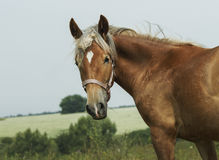 Red horse with light mane and white blaze on the head stands on the field Stock Photos