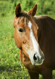 Red horse with light mane and white blaze on the head stands on the field Royalty Free Stock Photography