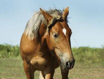 Red horse with light mane and white blaze on the head stands on the field Stock Images