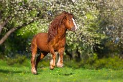 Red horse with long mane. Red draft horse with long mane run in blossom spring garden stock photo