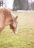 Image of a red grazing horse grazing on a summer pasture Stock Images