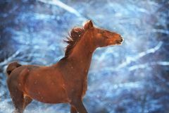 Red horse with long mane. Run fast in winter snow day stock photo