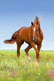 Red horse with long mane Royalty Free Stock Photos