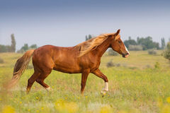 Red horse with long mane Royalty Free Stock Photography