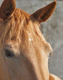 Red horse look closeup Royalty Free Stock Photo