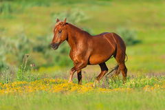 Red horse in meadow Stock Photo