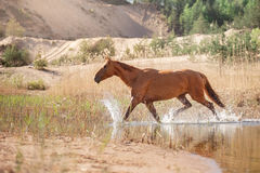Red Horse on nature. Portrait of a horse Royalty Free Stock Image
