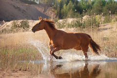 Red Horse on nature. Portrait of a horse Stock Photo