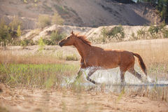 Red Horse on nature. Portrait of a horse Stock Images