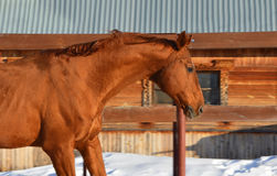 The red horse near the stables Royalty Free Stock Images