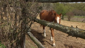 Red Horse in the pen stock video footage