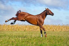 Red horse play Stock Images
