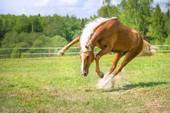 Red horse plays in summer time Royalty Free Stock Images