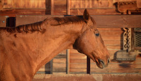 Free Red Horse Portrait Stock Photos - 56891693