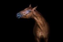 Red horse portrait Stock Photos