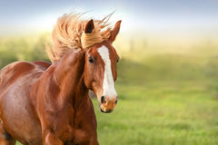 Red horse portrait Stock Photo