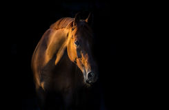 Red horse portrait Stock Images