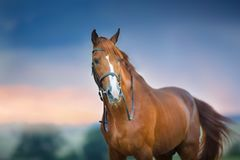Red horse against dark sky. Red horse portrait in bridle against dramatic rain sky stock image