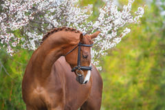 Red horse portrait in spring blossom Royalty Free Stock Image