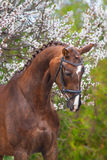 Red horse portrait in spring blossom Royalty Free Stock Photography