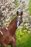 Red horse portrait in spring blossom stock photos