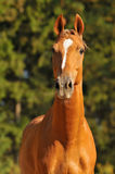 Red horse portrait in summer. Brown horse portrait in summer Royalty Free Stock Photo