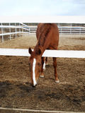 Red horse. Portrait of a horse walking in paddock of horse club royalty free stock photos