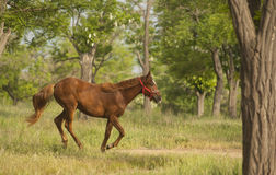Red horse in the red halter running Stock Images