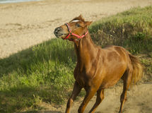 Red horse in the red halter running Stock Photo