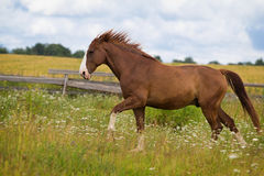 Red horse run. In field Stock Images