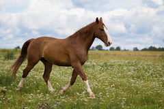 Red horse run. In green field Royalty Free Stock Image