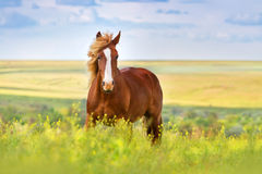 Red horse run. Beautiful red horse with long blond mane in spring field with yellow flowers Stock Photos