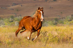 Red horse run Royalty Free Stock Photo