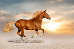 Red horse run in dust royalty free stock image