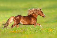 Red horse run in flowers Stock Images