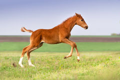 Red horse run stock image