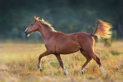 Red horse run. Gallop isolated on white background royalty free stock photography